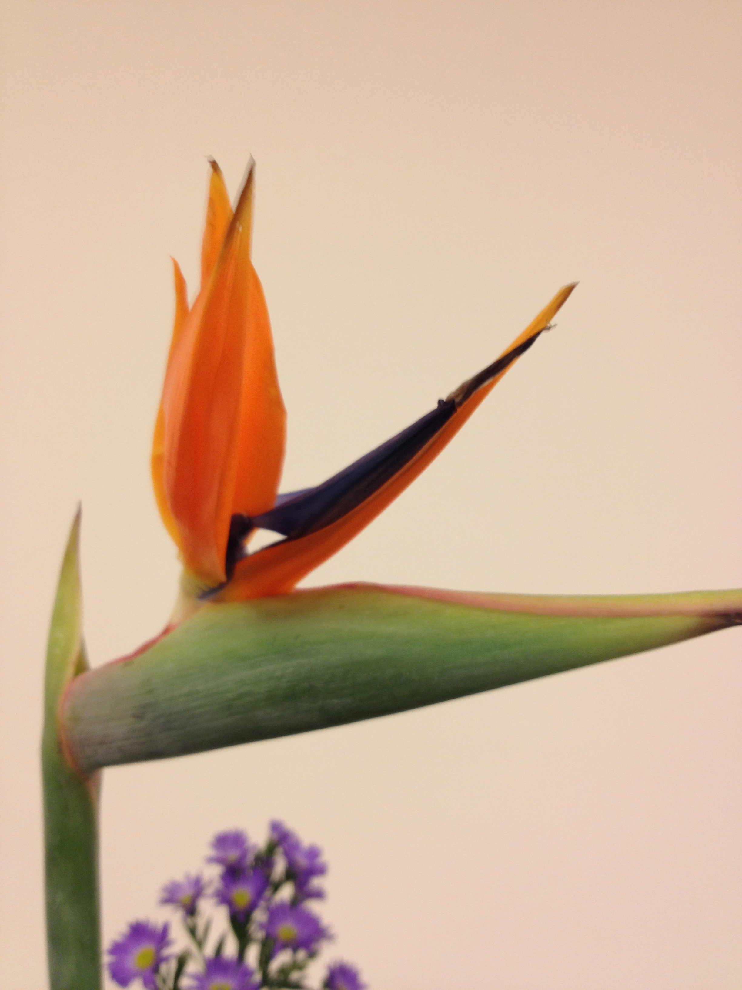 Bird of paradise roots to blooms emerging bird you can gently dig out the blooms with your thumb buycottarizona
