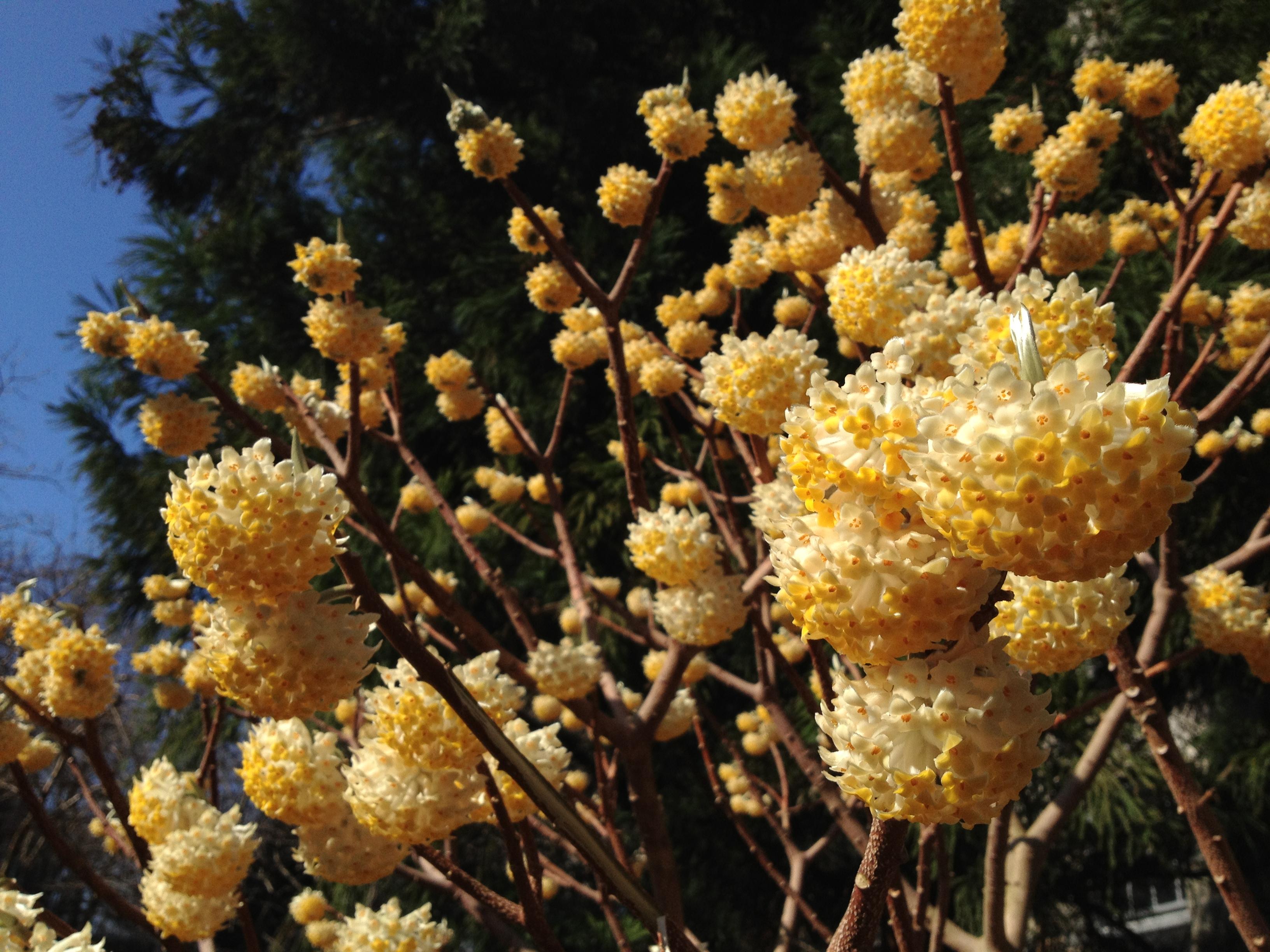 Shrubs roots to blooms for Edgeworthia chrysantha