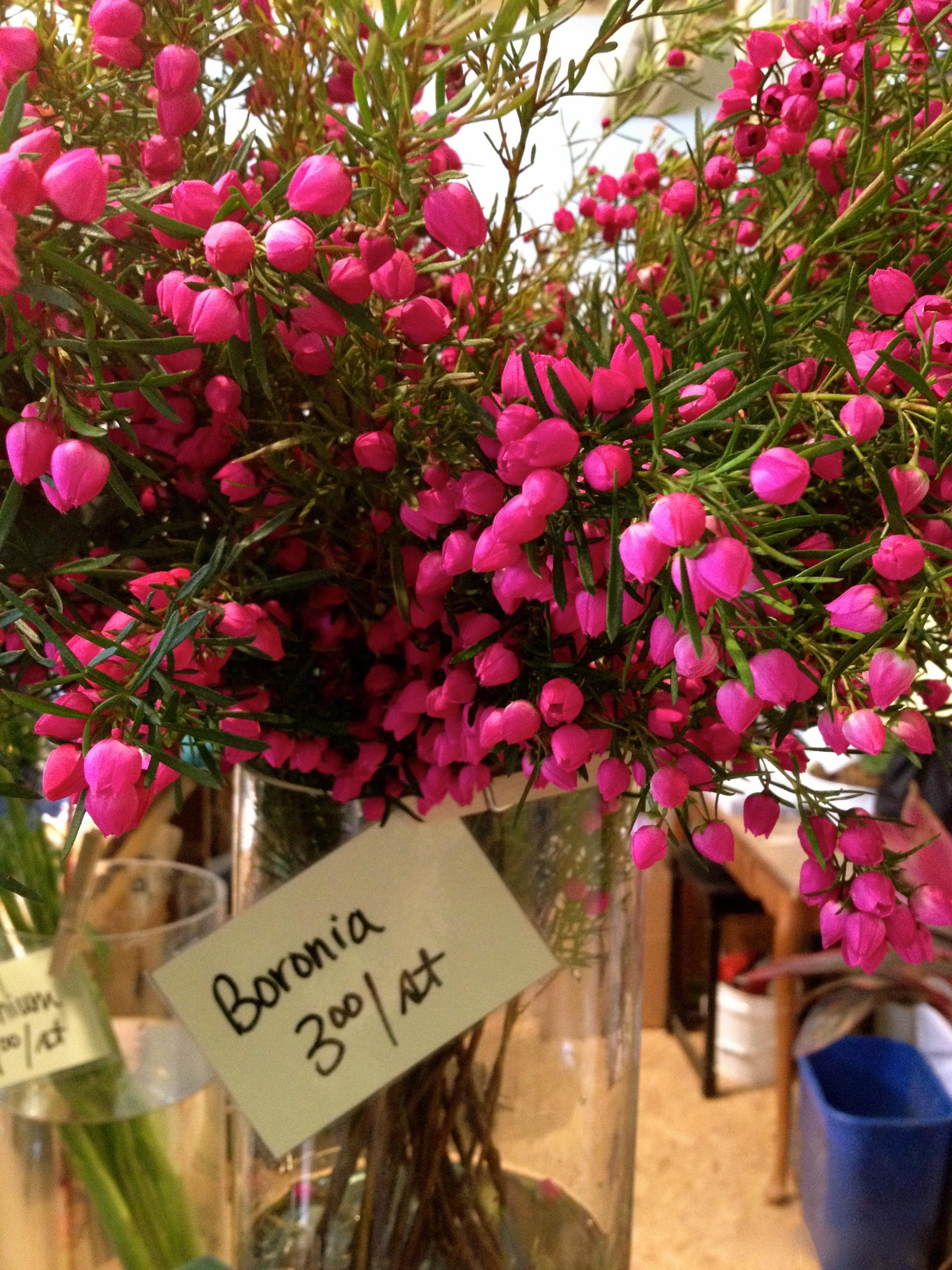 Boronia Heterophylla Roots To Blooms
