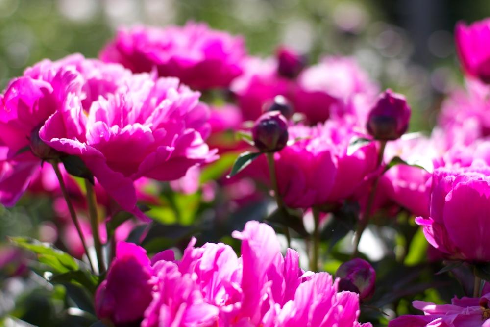 a peony garden (6/6)