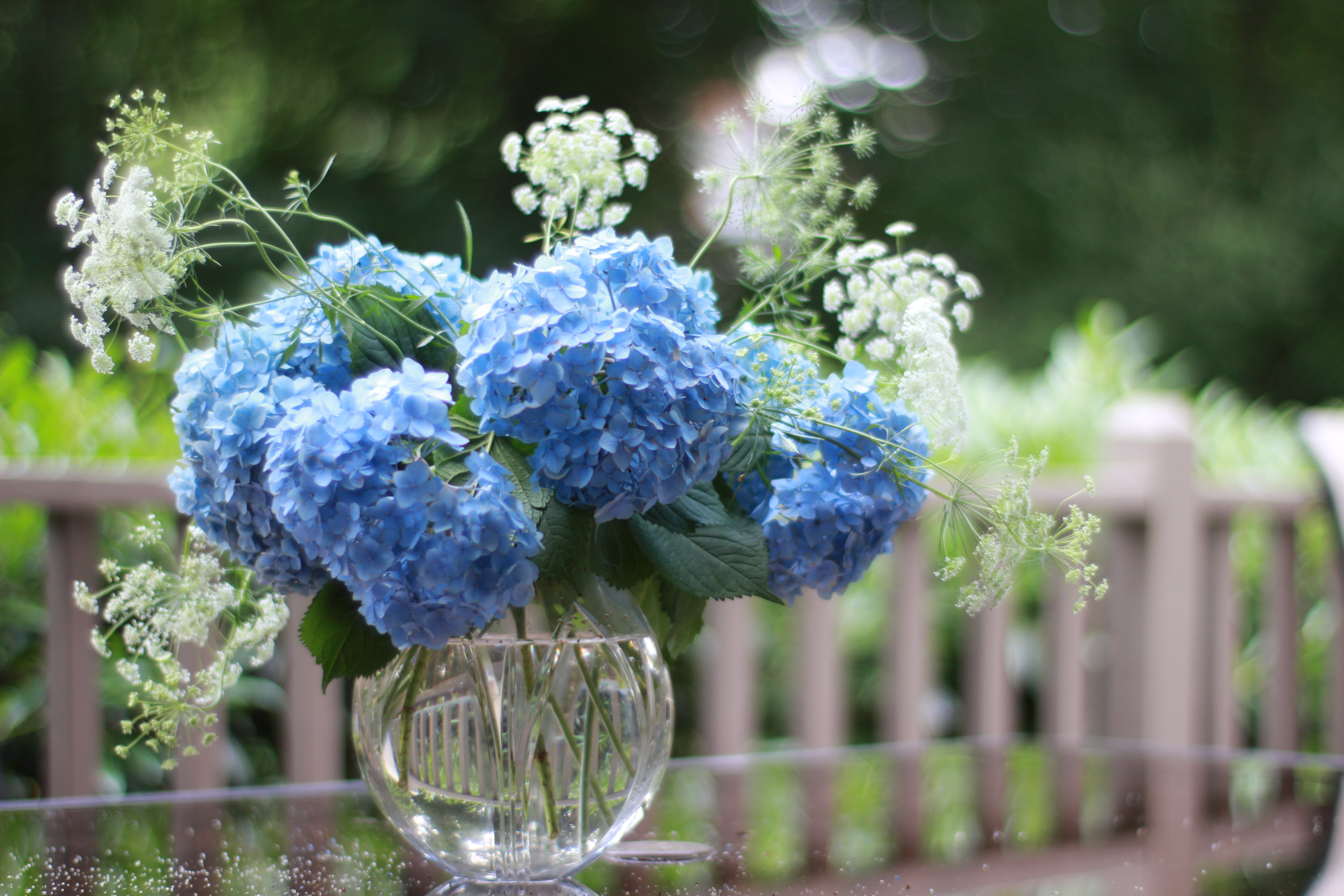 hydrangea macrophylla claudia roots to blooms. Black Bedroom Furniture Sets. Home Design Ideas