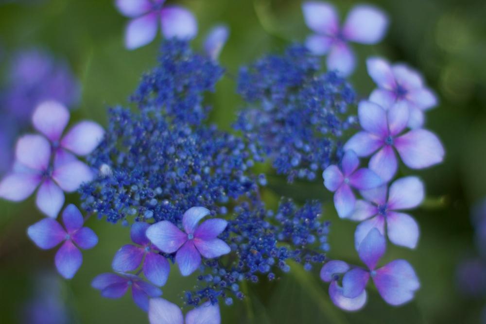 hydrangea blues (4/6)