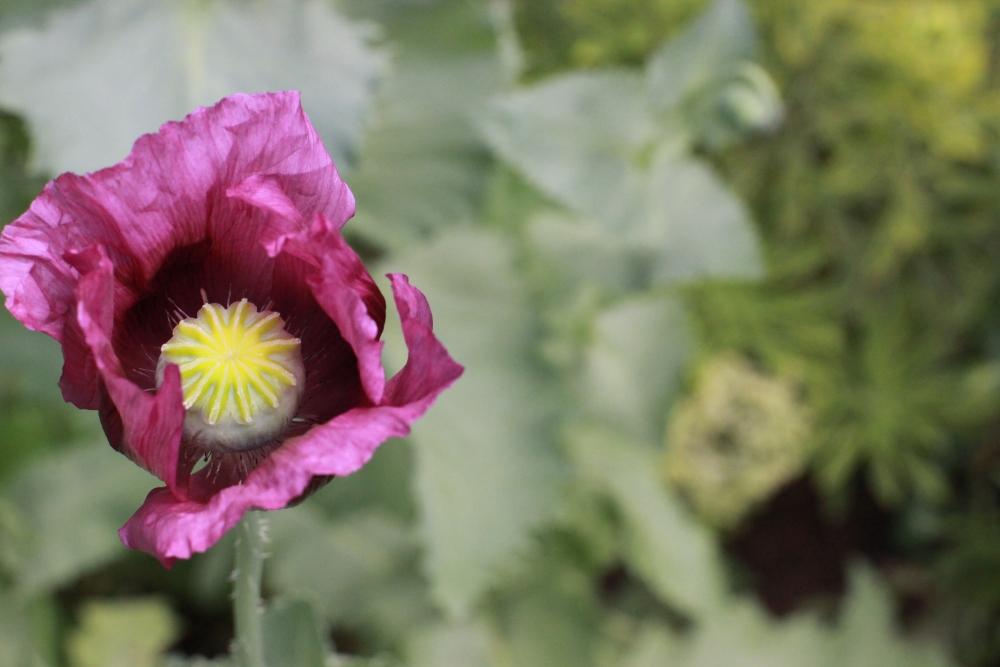 poppy pride (2/6)