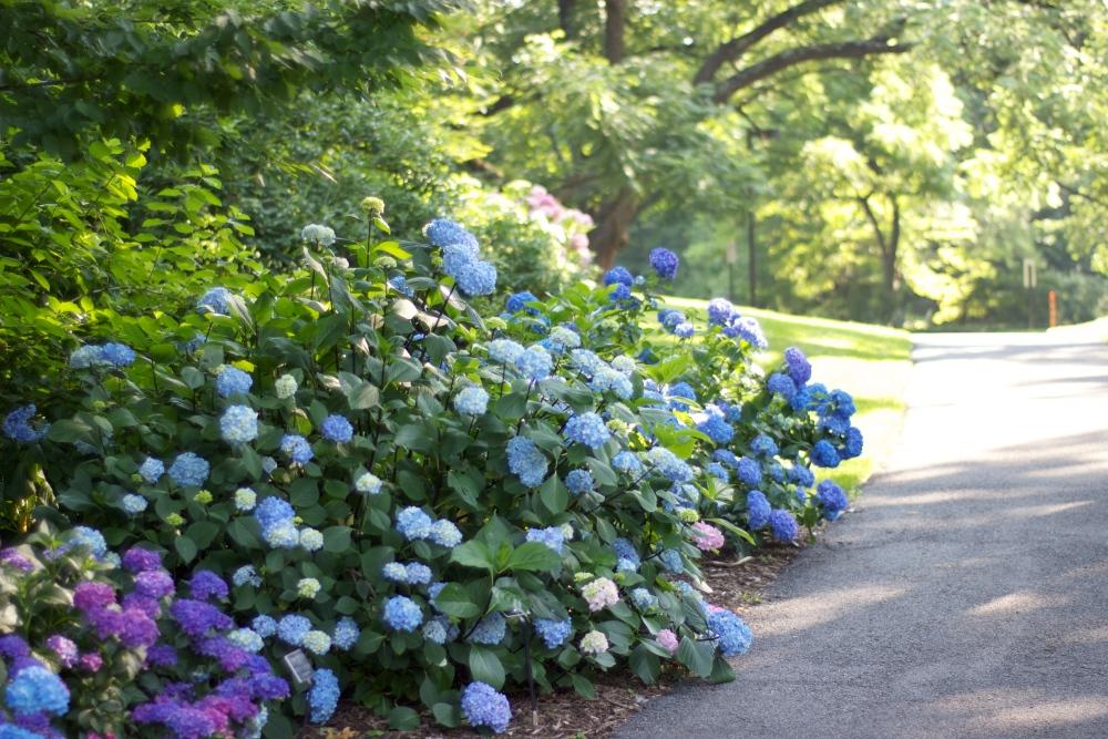hydrangea blues (2/6)