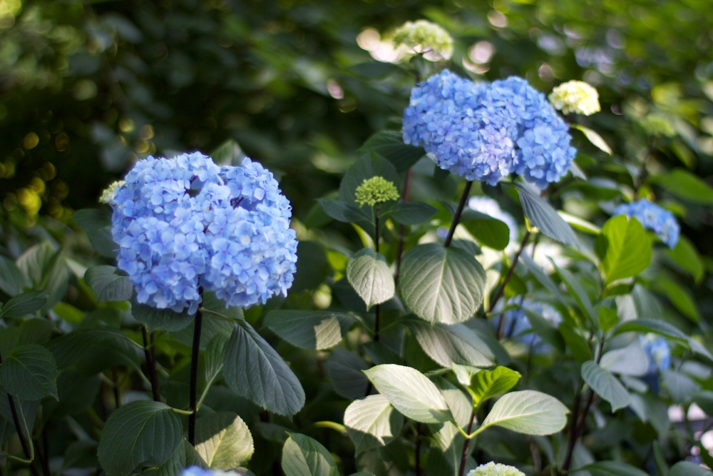 hydrangea blues (3/6)