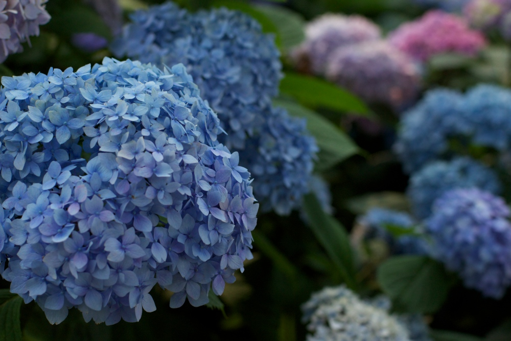 hydrangea blues (1/6)